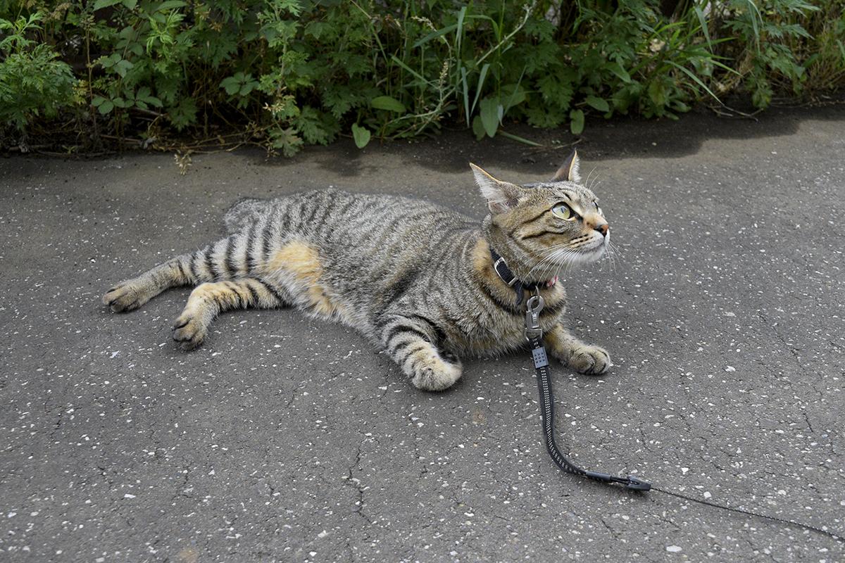 早朝散歩で鳥をみるキジトラ猫の虎ノ介