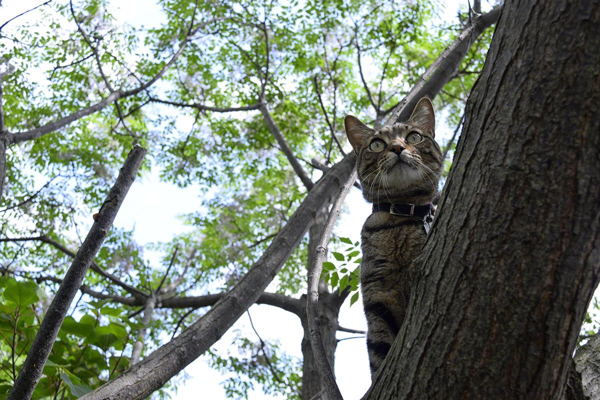 鳥を追いかけて木に登るキジトラ猫の虎ノ介