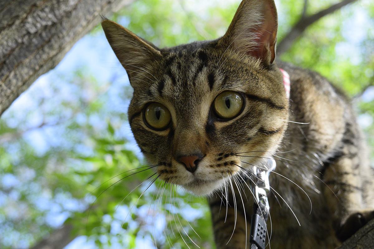 人間を踏み台にしようとしているキジトラ猫の虎ノ介