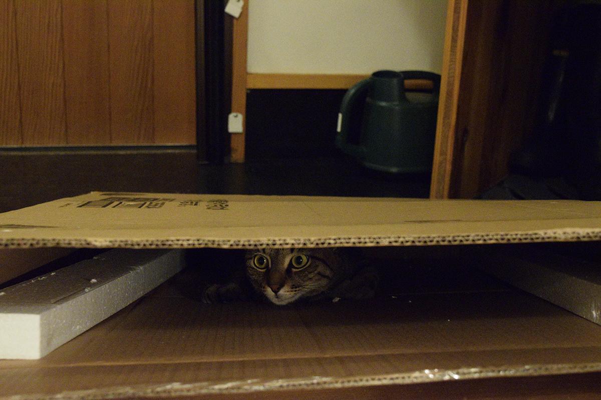 大きな箱に入るキジトラ猫の虎ノ介