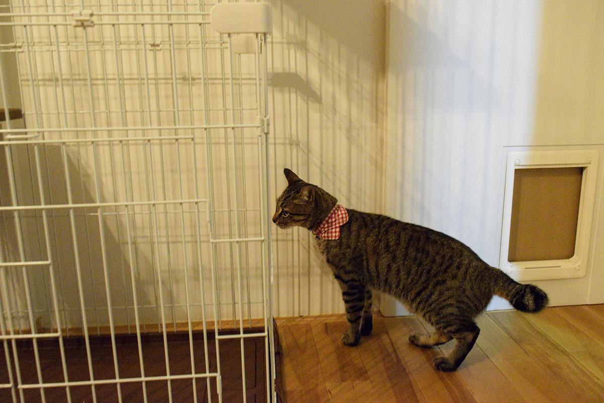 ケージをチェックするキジトラ猫の虎ノ介