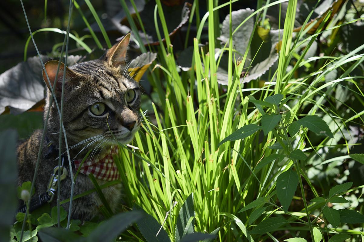 好物の草の様子をチェックするキジトラ猫の虎ノ介