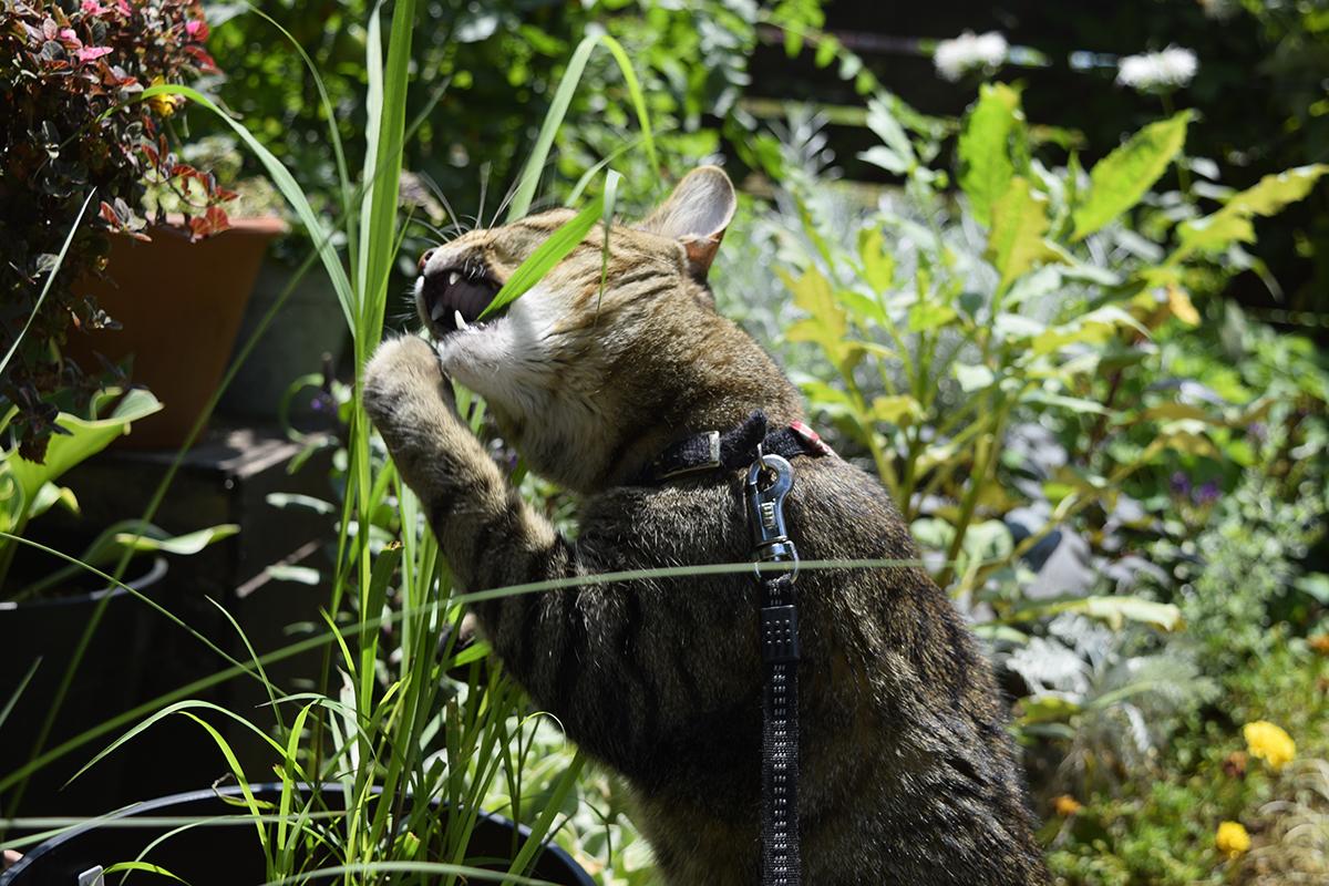 手を使って草の先を食べようとするキジトラ猫の虎ノ介