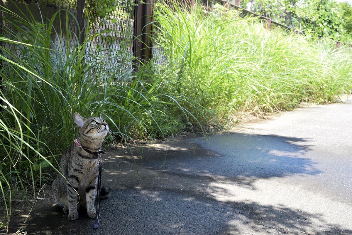 涼しい木陰で鳥をみるキジトラ猫の虎ノ介