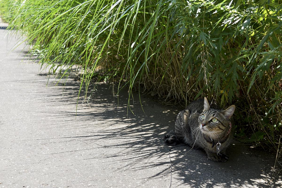 ススキの下にはいって鳥を見上げるキジトラ猫の虎ノ介