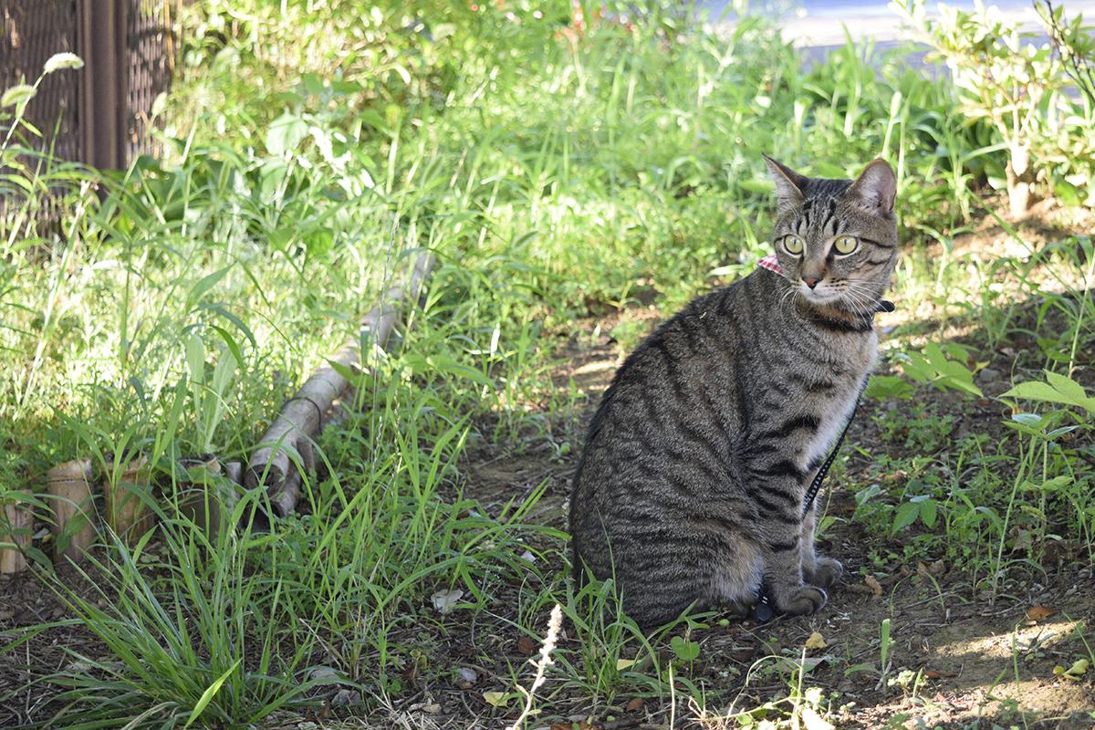 木陰で涼むキジトラ猫の虎ノ介