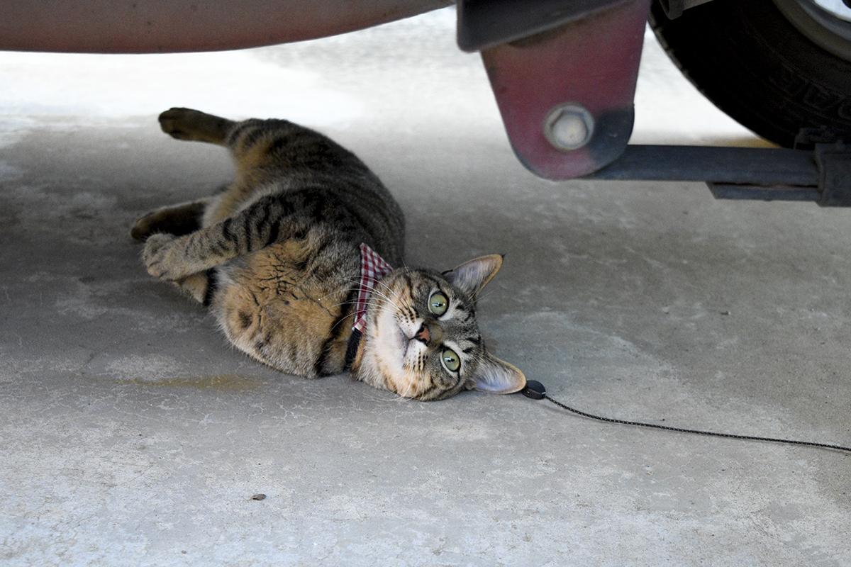 車の下で涼むキジトラ猫の虎ノ介