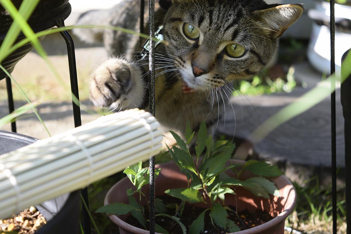 庭に新しいアイテムを発見してチェックするキジトラ猫の虎ノ介