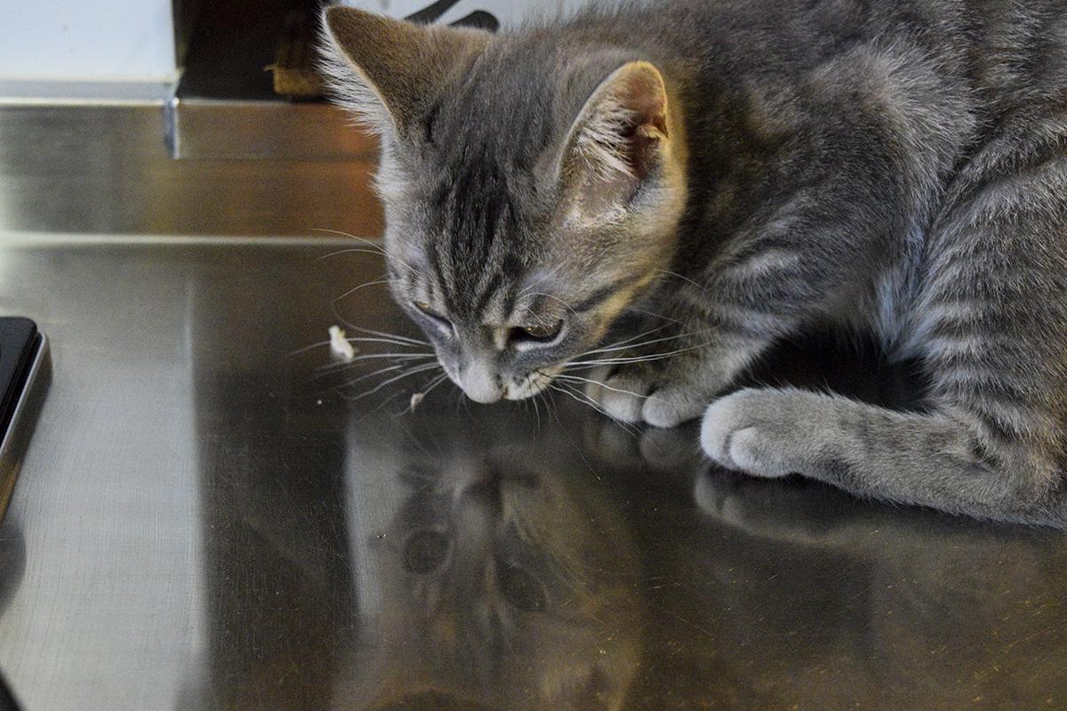 ゴミ入れから肉を取り出して食べているサバトラ猫の春太