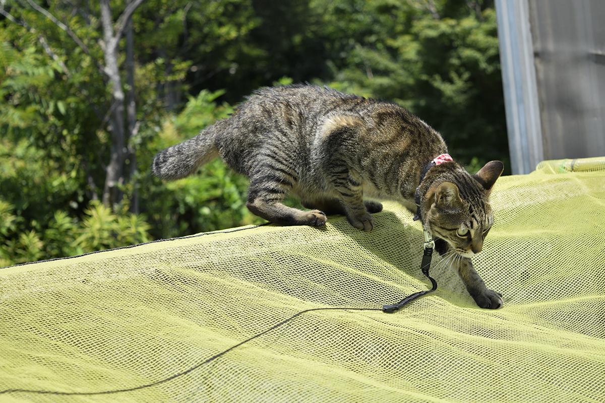 ゴミの回収日に生ごみをチェックしようとするキジトラ猫の虎ノ介