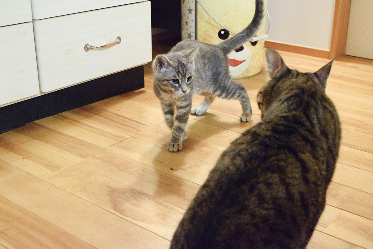 キジトラ猫の虎ノ介を追い掛け回すサバトラ猫の春太