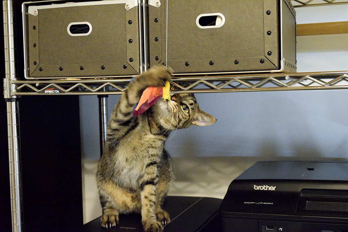 高いところで一人遊びをするキジトラ猫の虎ノ介