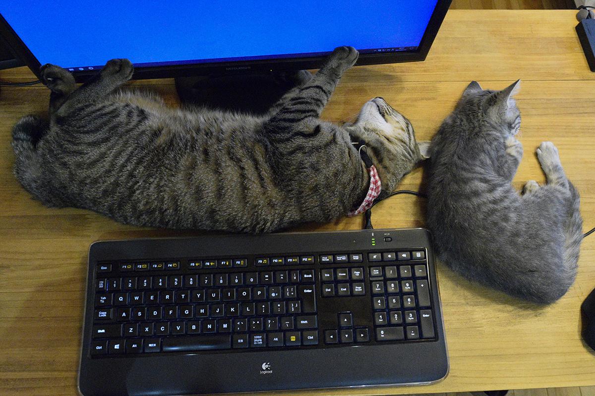寝ているキジトラ猫の虎ノ介の隣にそっと寄り添って寝るサバトラ猫の春太