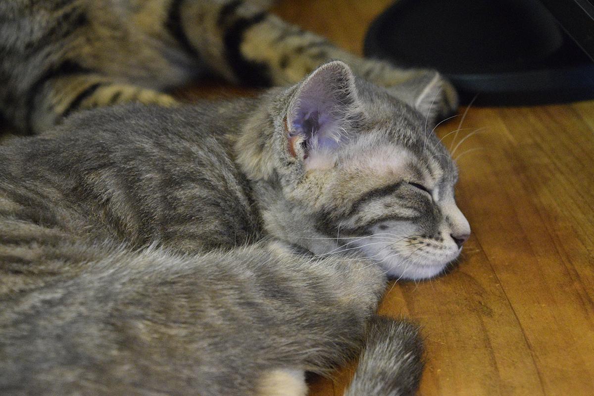 サバトラ猫の春太の寝顔