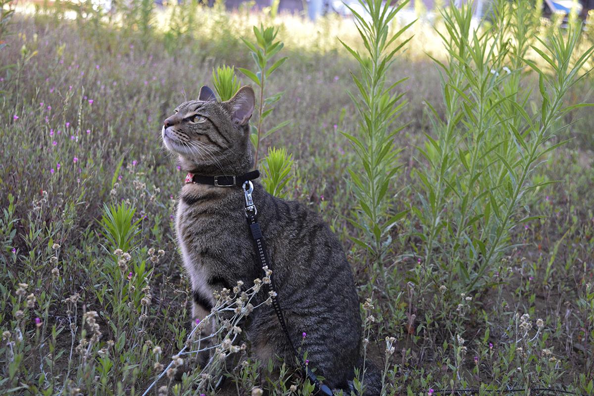 お外で深呼吸するキジトラ猫の虎ノ介