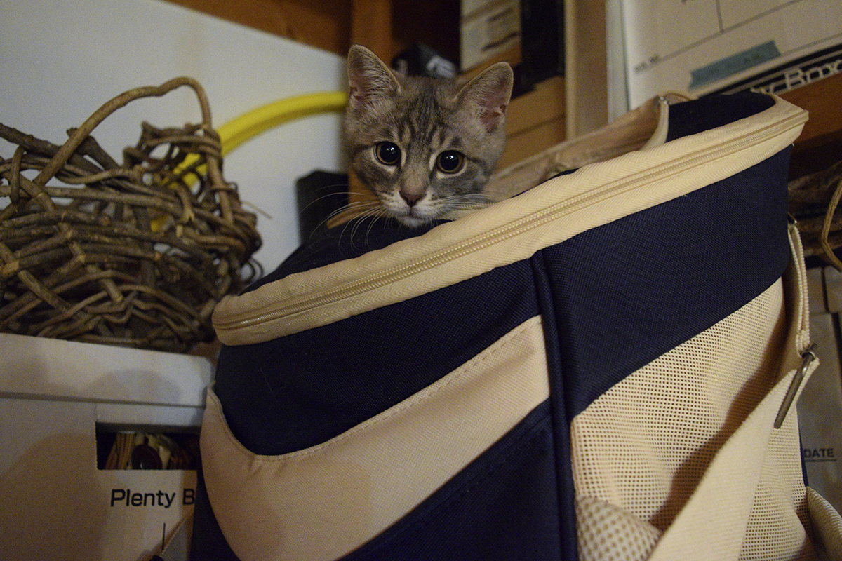 キジトラ猫の虎ノ介が出た後にリュックにはいるサバトラ猫の春太