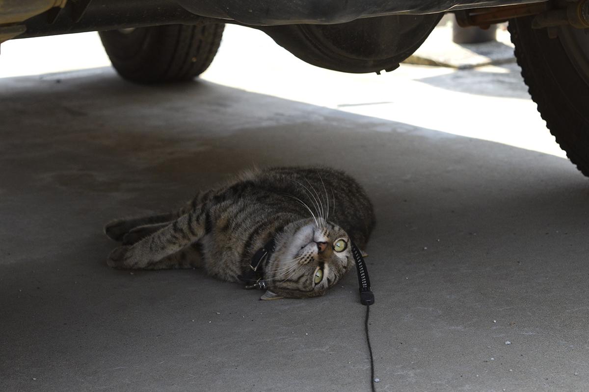 車の下でゴローンするキジトラ猫の虎ノ介