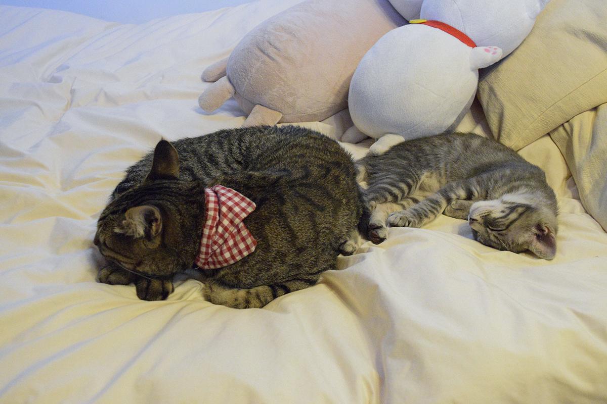ベッドで並んで眠るキジトラ猫の虎ノ介とサバトラ猫の春太