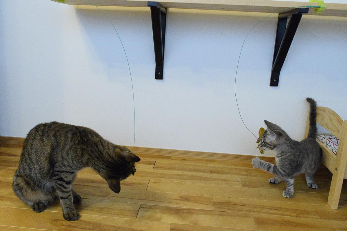 新しいおもちゃをチェックするキジトラ猫の虎ノ介とサバトラ猫の春太
