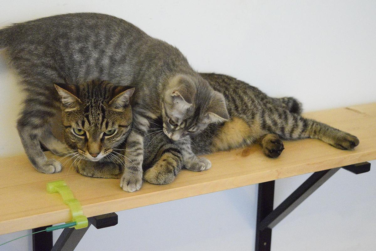 おもちゃの付け根をチェックしているキジトラ猫の虎ノ介にじゃれついてくるサバトラ猫の春太