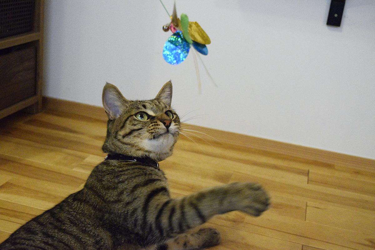 こっそり新しいおもちゃで遊ぶキジトラ猫の虎ノ介