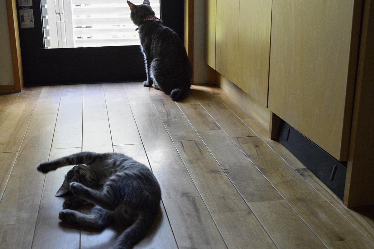 窓の外を眺めるキジトラ猫の虎ノ介と後ろで遊ぶサバトラ猫の春太