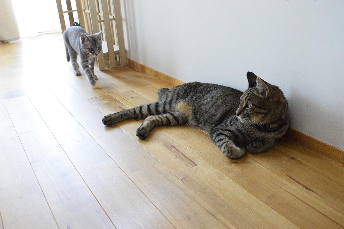 廊下でくつろぐキジトラ猫の虎ノ介と後ろから近づくサバトラ猫の春太