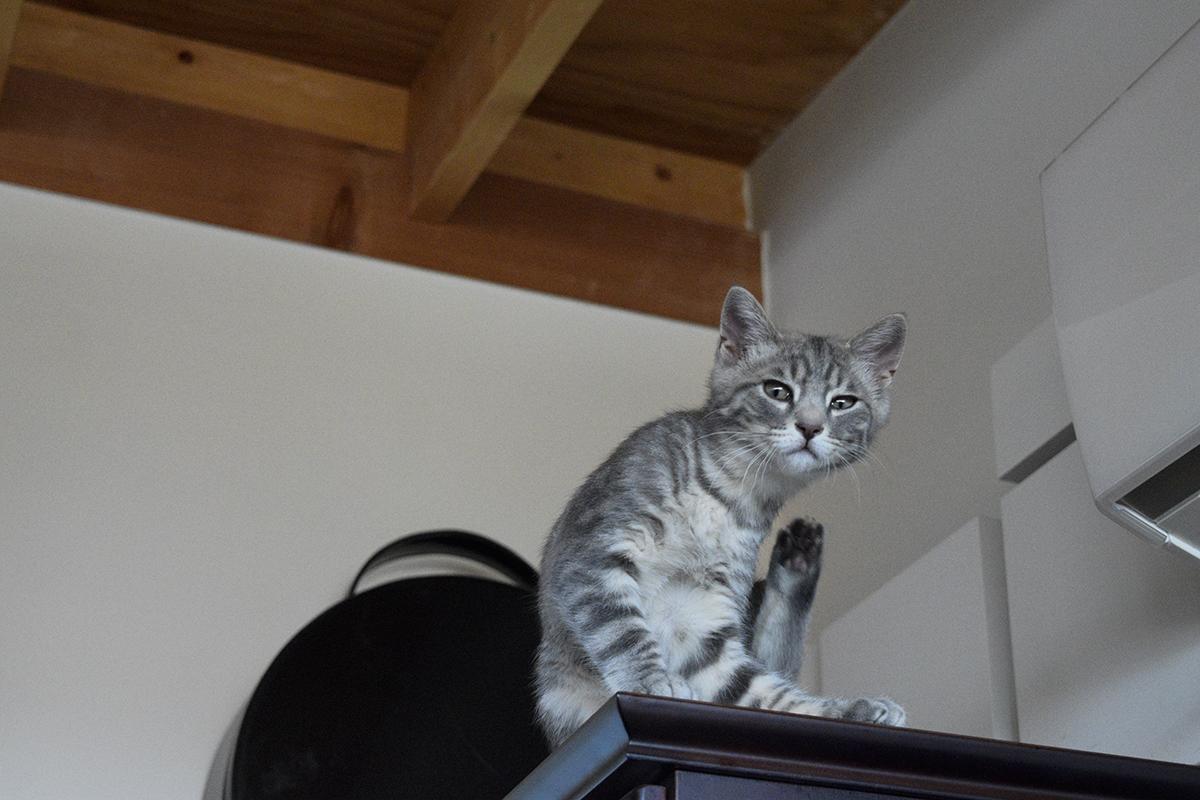 キジトラ猫の虎ノ介の避難場所でドヤ顔をしているサバトラ猫の春太