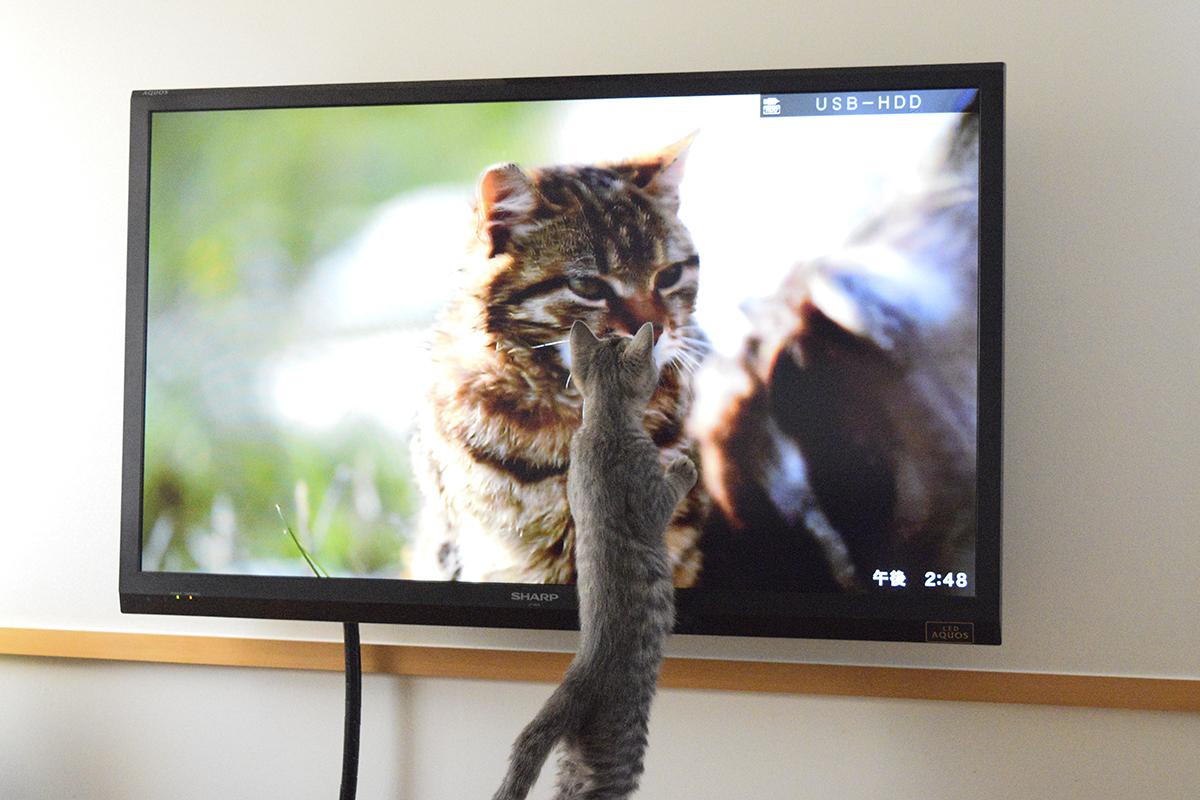 猫歩きを見るサバトラ猫の春太
