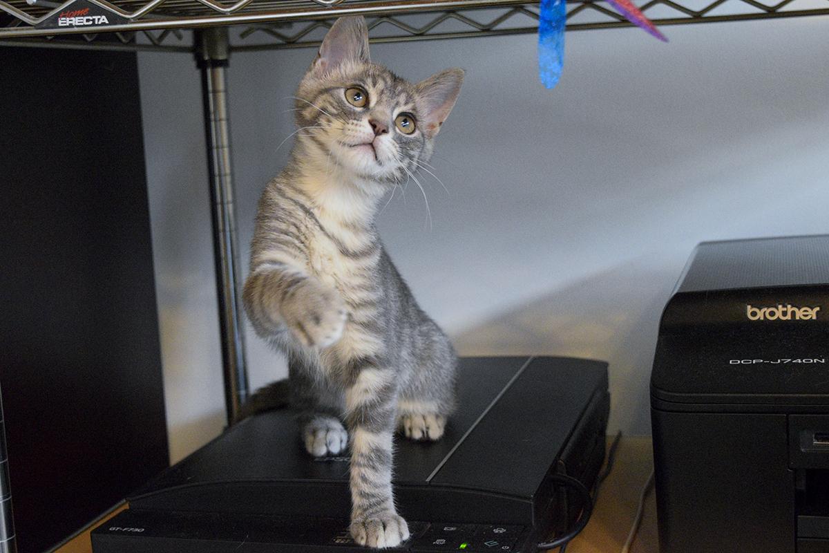 可愛らしく猫じゃらしで遊ぶサバトラ猫の春太