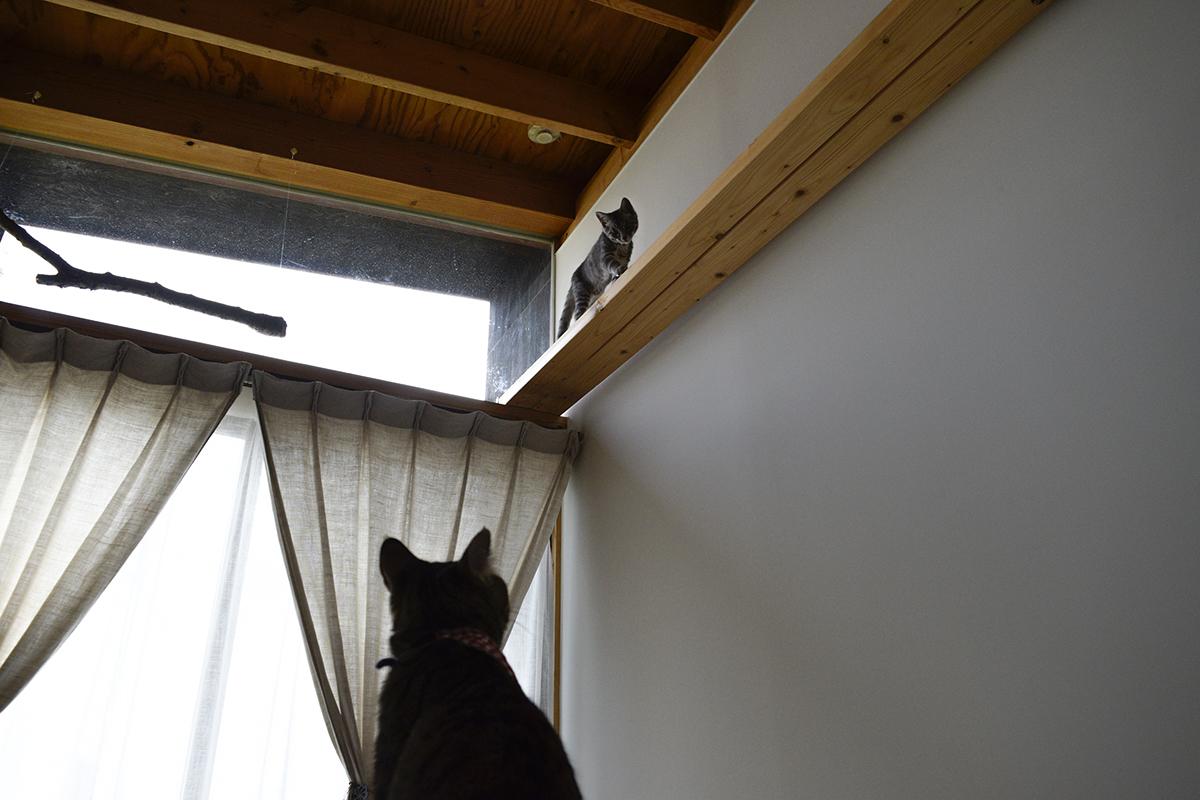 キャットウォークを歩くサバトラ猫の春太を見上げるキジトラ猫の虎ノ介