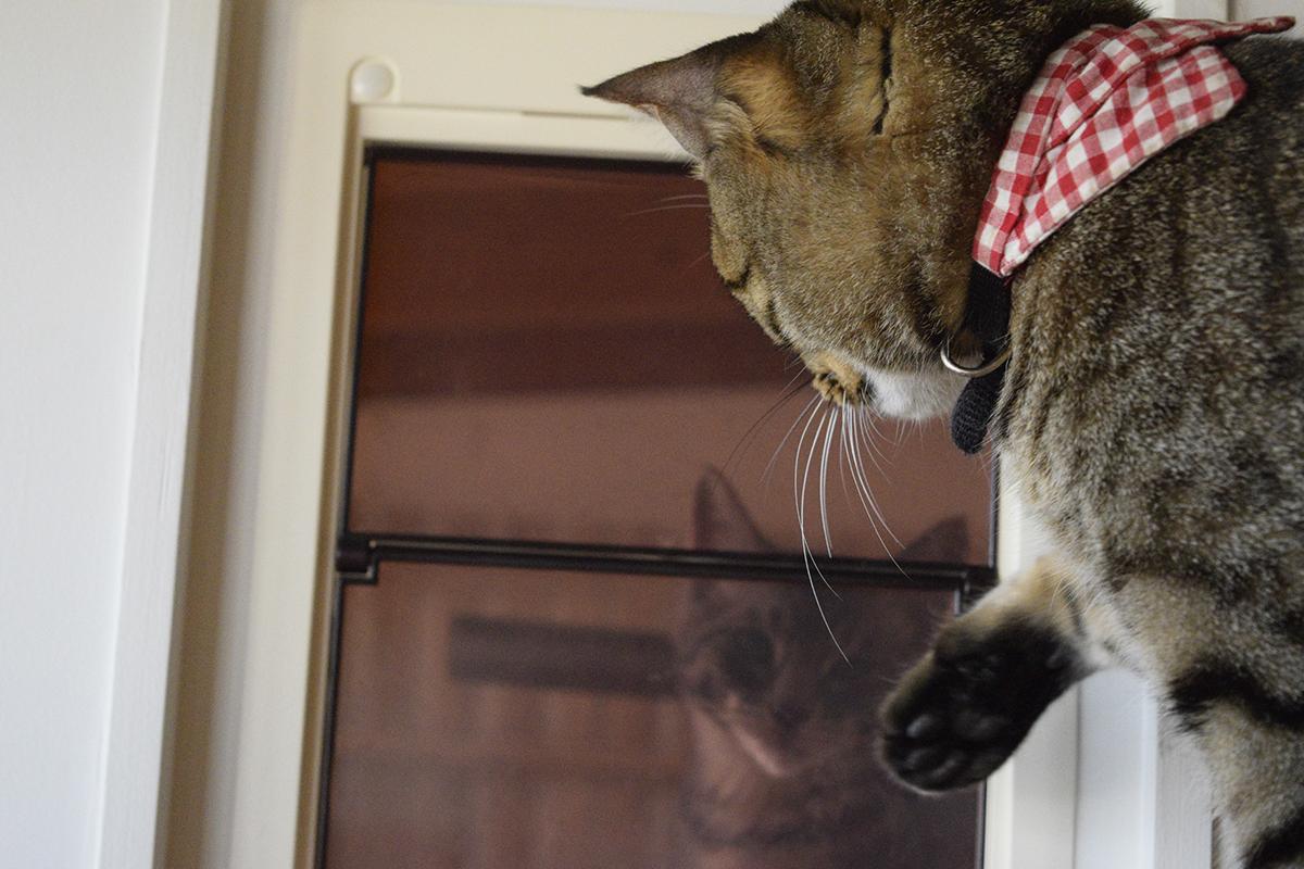 キャットドアをふさぐキジトラ猫の虎ノ介