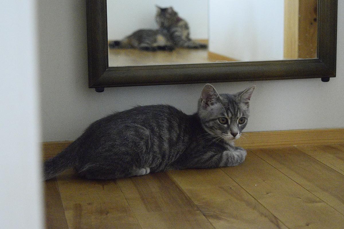 キジトラ猫の虎ノ介をを見つめるサバトラ猫の春太