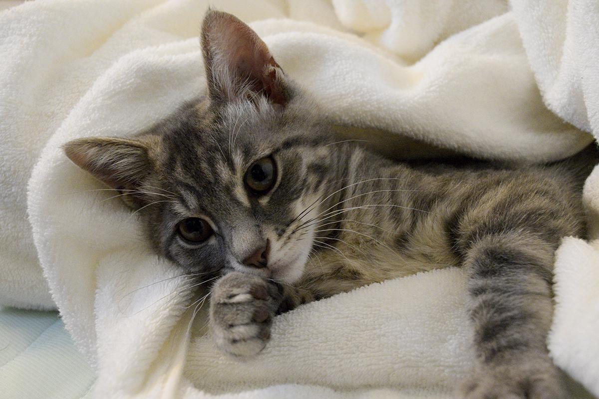 布団で寝そべるサバトラ猫の春太