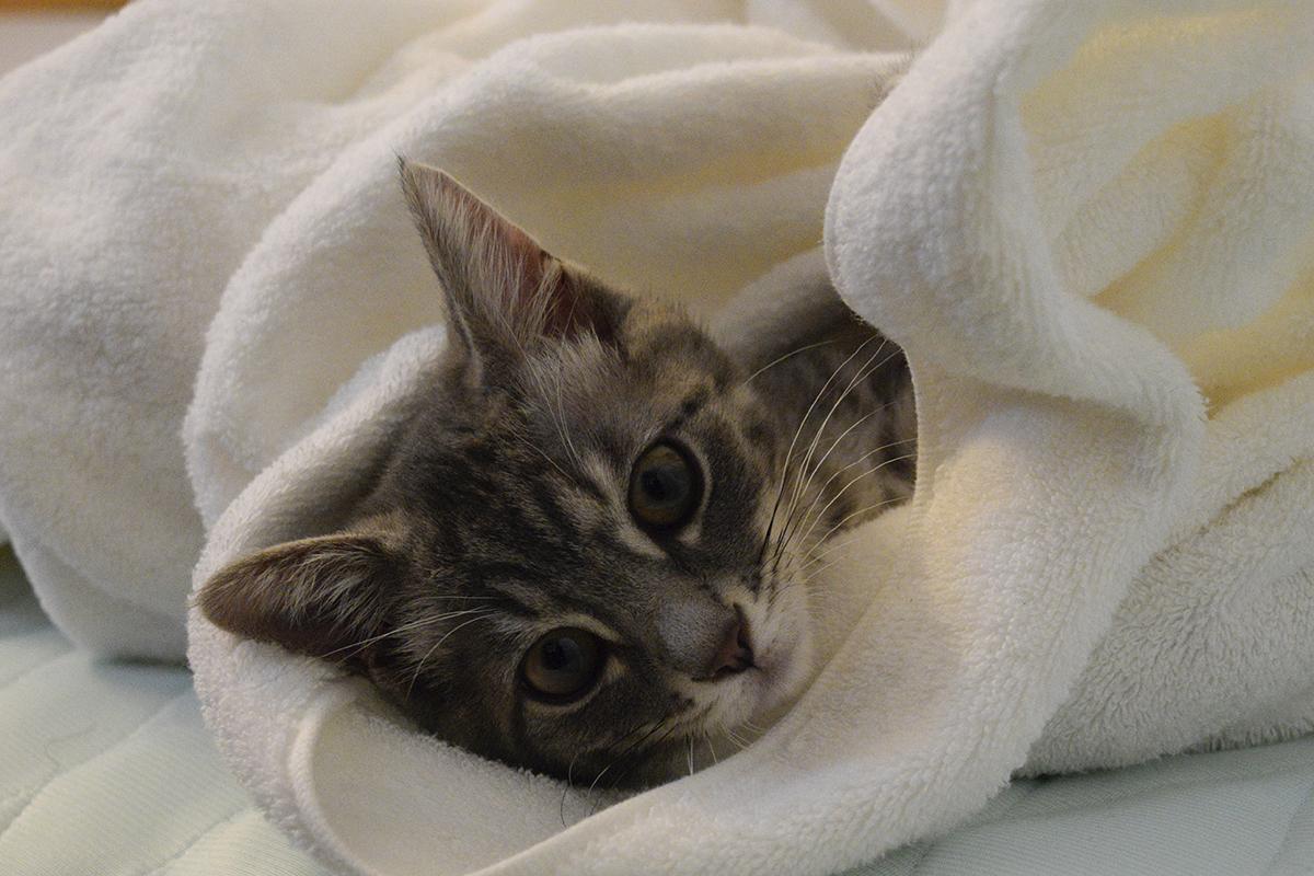 布団から顔だけだしたサバトラ猫の春太