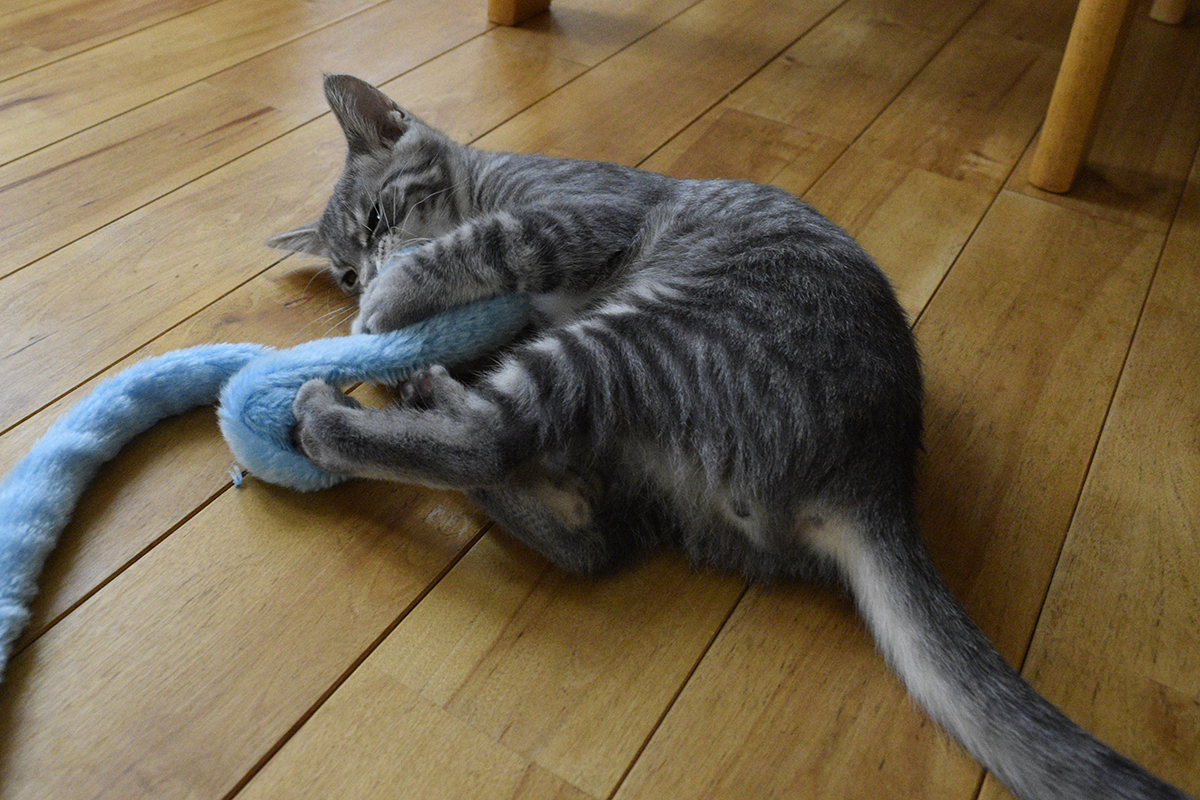 猫じゃらしで遊ぶサバトラ猫の春太