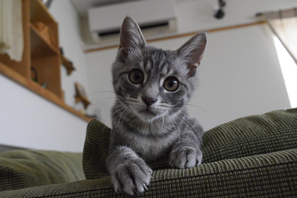 ソファーから顔をだすサバトラ猫の春太
