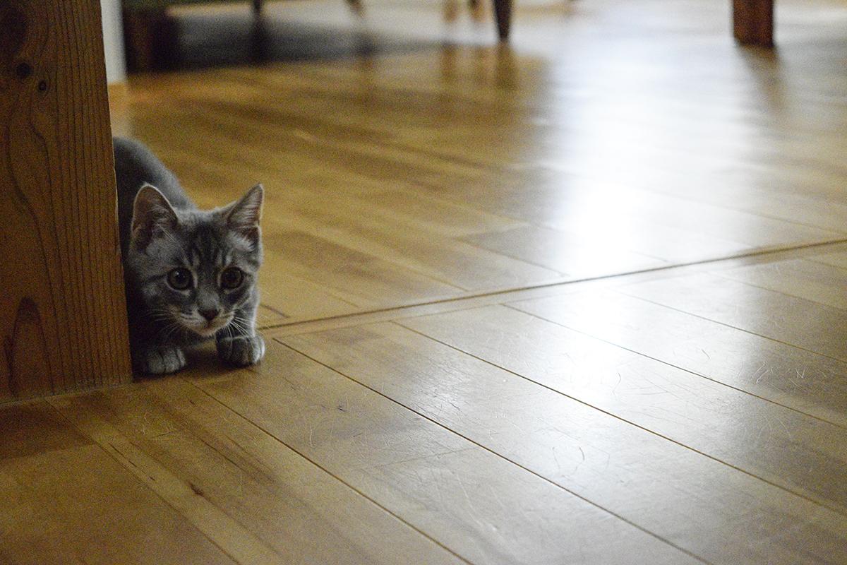 壁から覗くサバトラ猫の春太