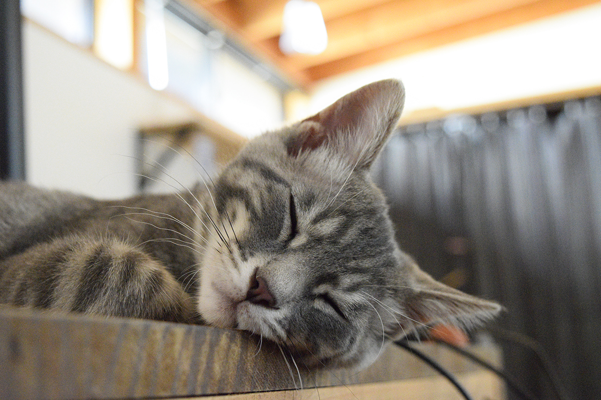 机で眠るサバトラ猫の春太
