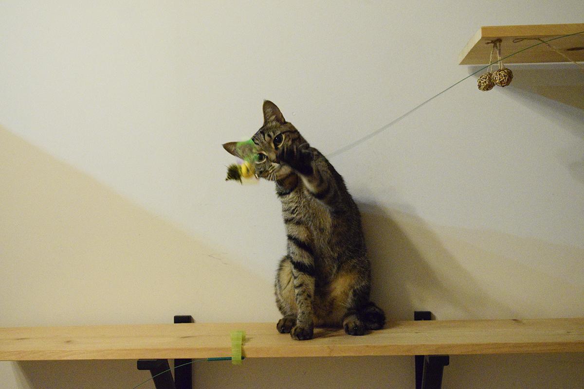 猫じゃらしで遊ぶキジトラ猫の虎ノ介
