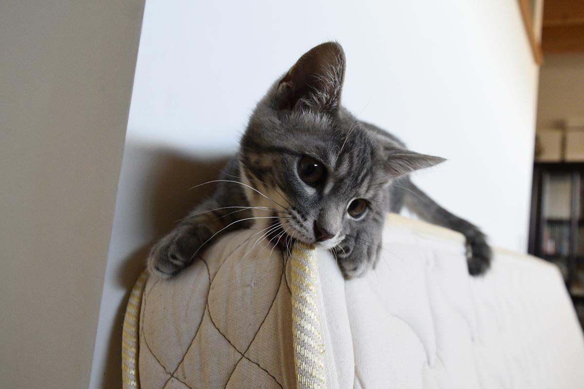 マットの上で遊ぶサバトラ猫の春太