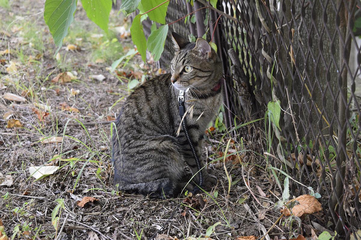 お散歩中の自然体のキジトラ猫の虎ノ介