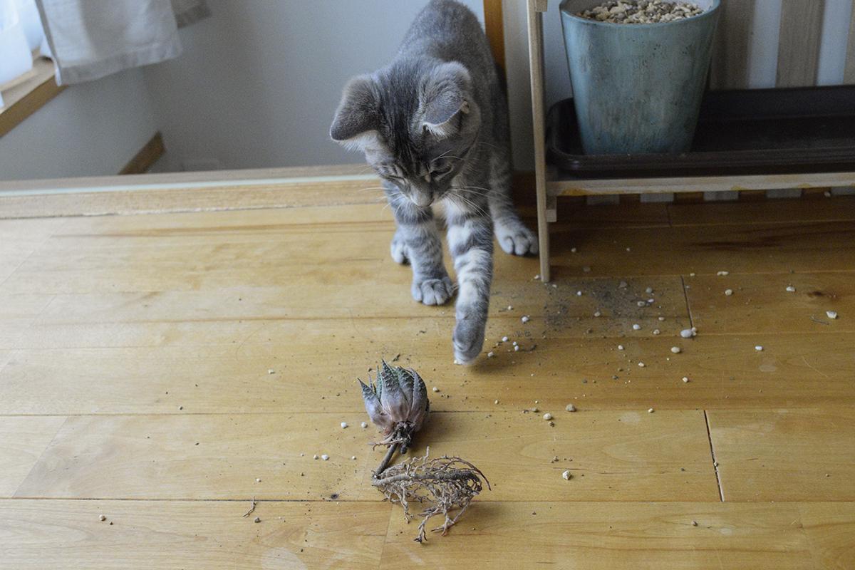鉢植えの多肉を引っこ抜くサバトラ猫の春太