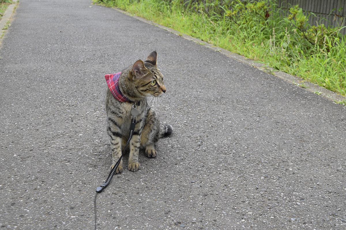 雨の中散歩にでるキジトラ猫の虎ノ介