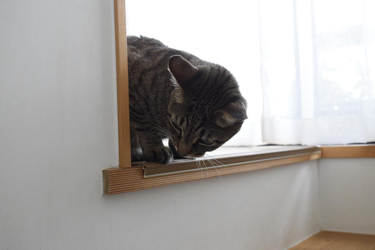 階下を覗くキジトラ猫の虎ノ介