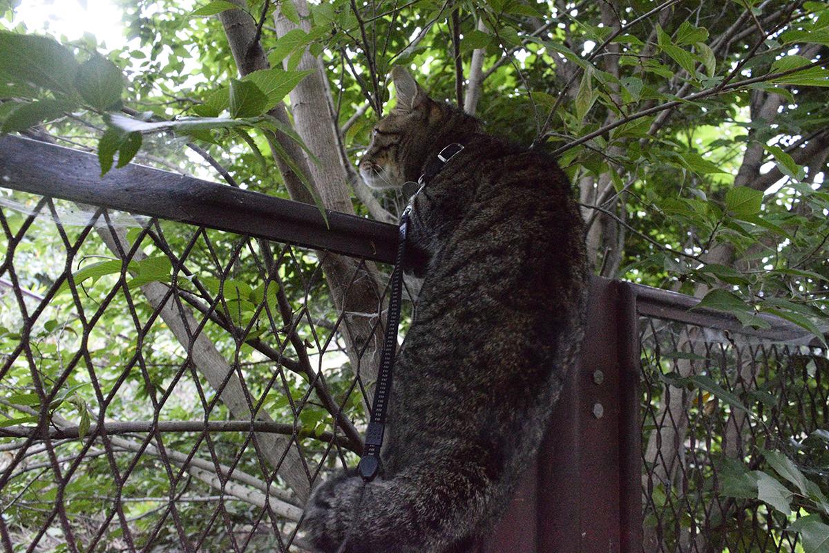 セミを見つけてフェンスによじ登るキジトラ猫の虎ノ介