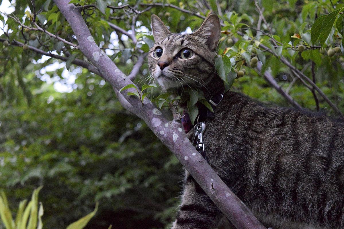 セミをみつけて木に登ったキジトラ猫の虎ノ介
