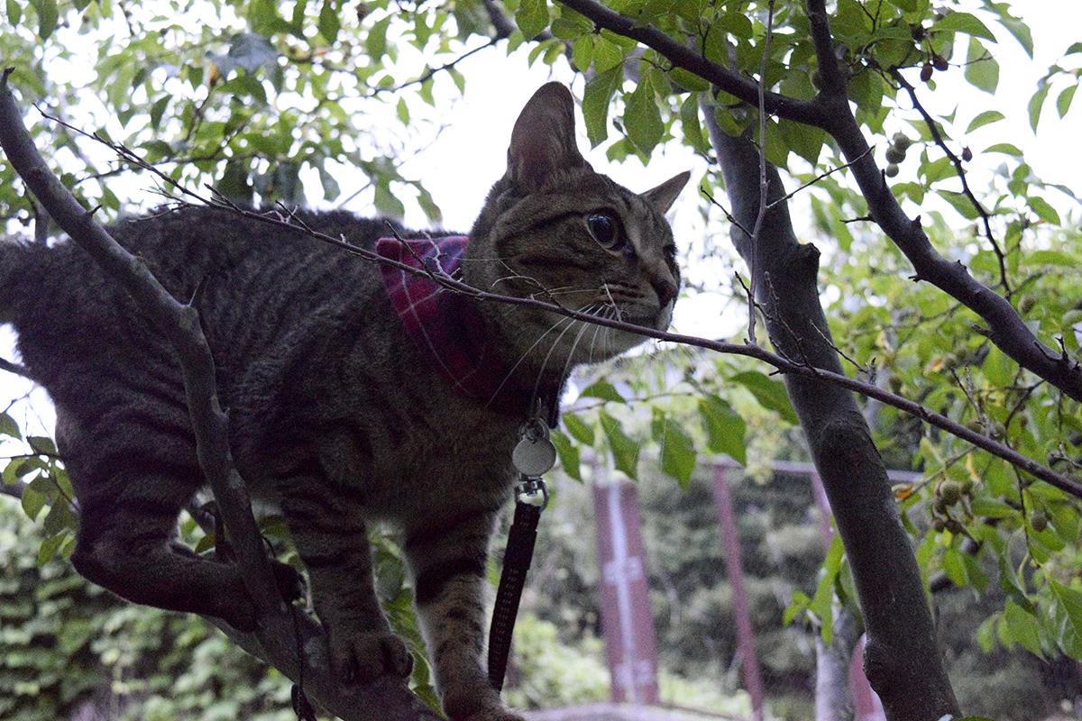 セミを見つけて木に登るキジトラ猫の虎ノ介