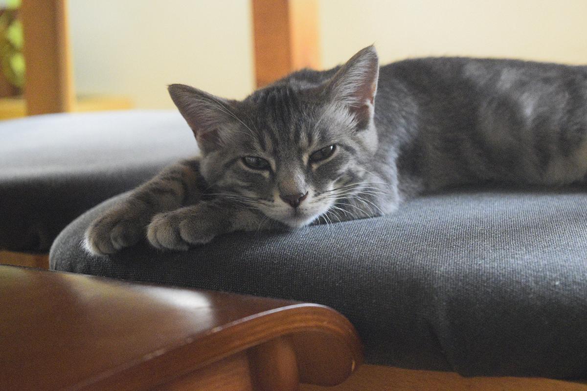 椅子の上で退屈そうにキジトラ猫の虎ノ介を待つサバトラ猫の春太