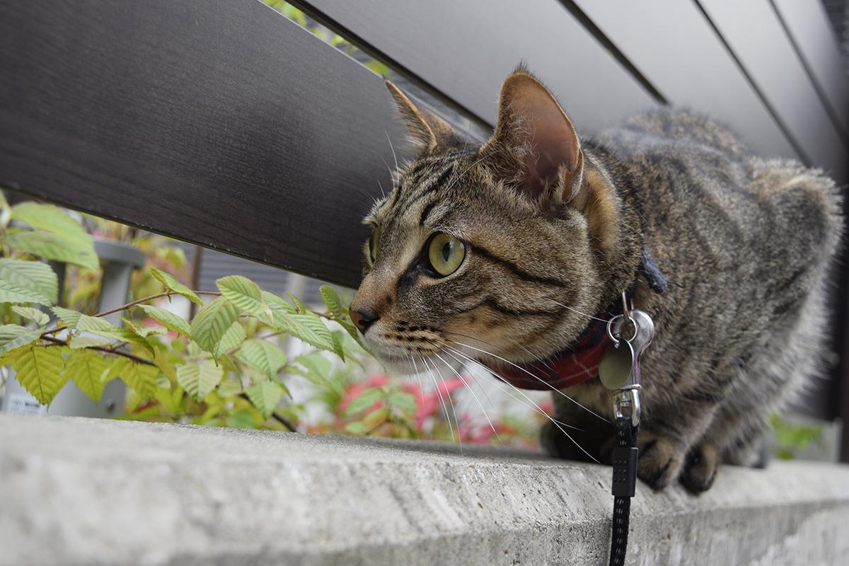 犬を覗くキジトラ猫の虎ノ介